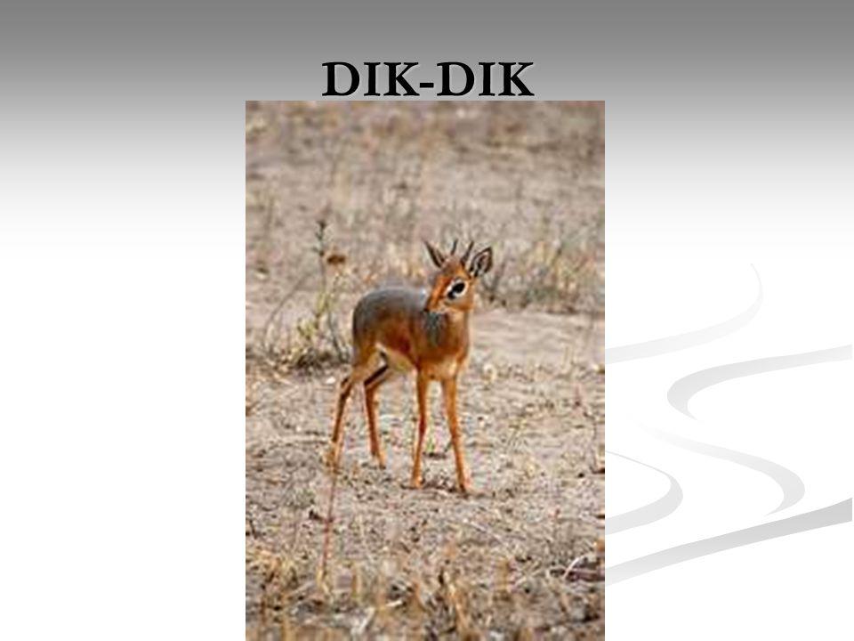 DIK-DIK