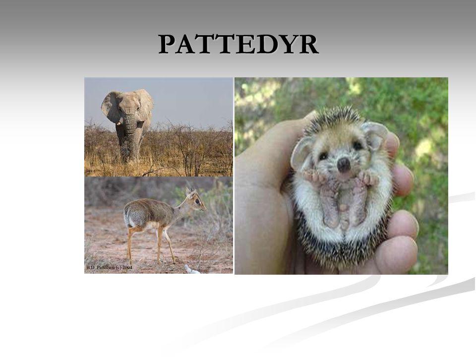 PATTEDYR