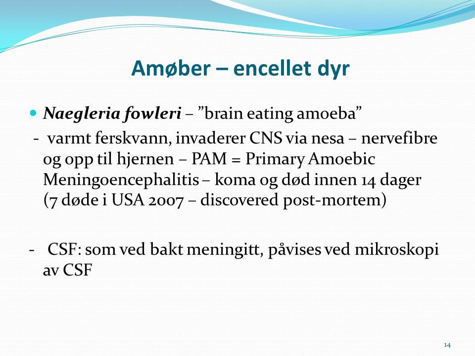 """Amøber – encellet dyr  Naegleria fowleri – """"brain eating amoeba"""" - varmt ferskvann, invaderer CNS via nesa – nervefibre og opp til hjernen – PAM = Pr"""