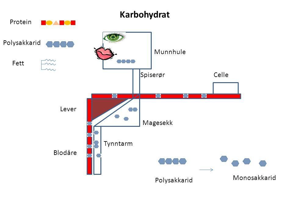 Blodåre Lever Celle Magesekk Tynntarm Munnhule Spiserør Polysakkarid Protein Fett Monosakkarid Karbohydrat Polysakkarid