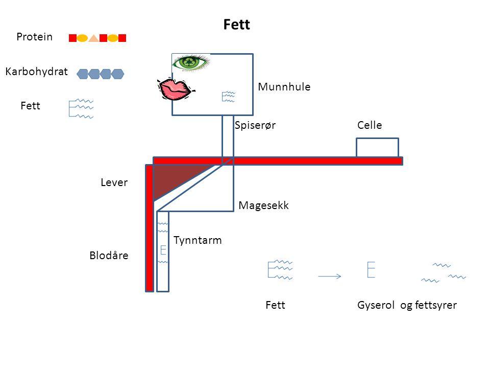 Blodåre Lever Celle Magesekk Tynntarm Munnhule Spiserør Karbohydrat Protein Fett Gyserol og fettsyrer