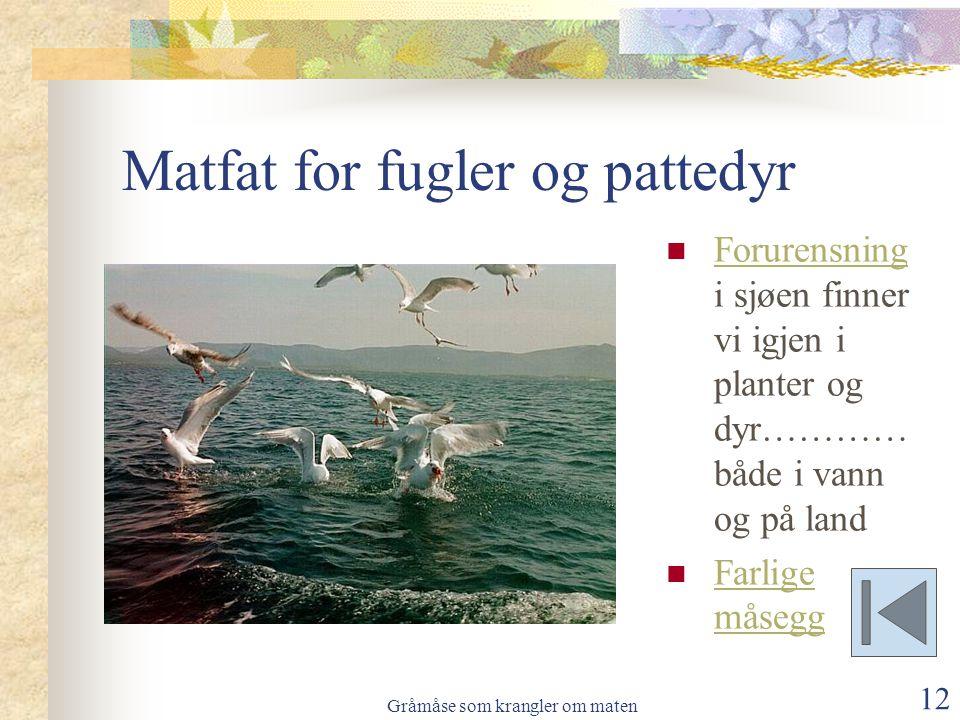Gråmåse som krangler om maten 12 Matfat for fugler og pattedyr  Forurensning i sjøen finner vi igjen i planter og dyr………… både i vann og på land Foru