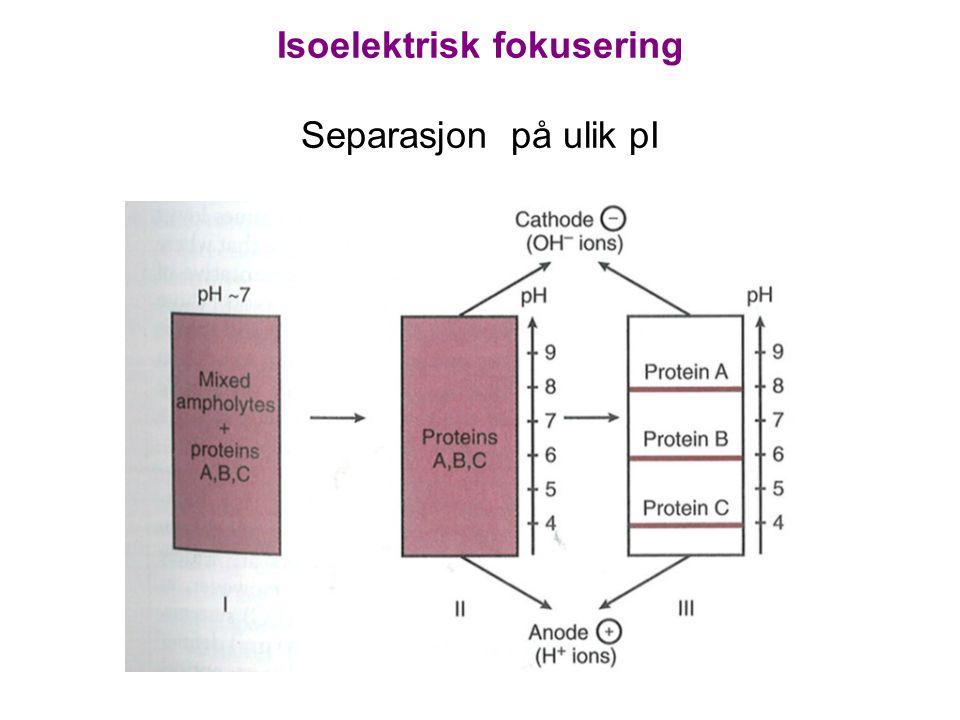 Isoelektrisk fokusering Separasjon på ulik pI