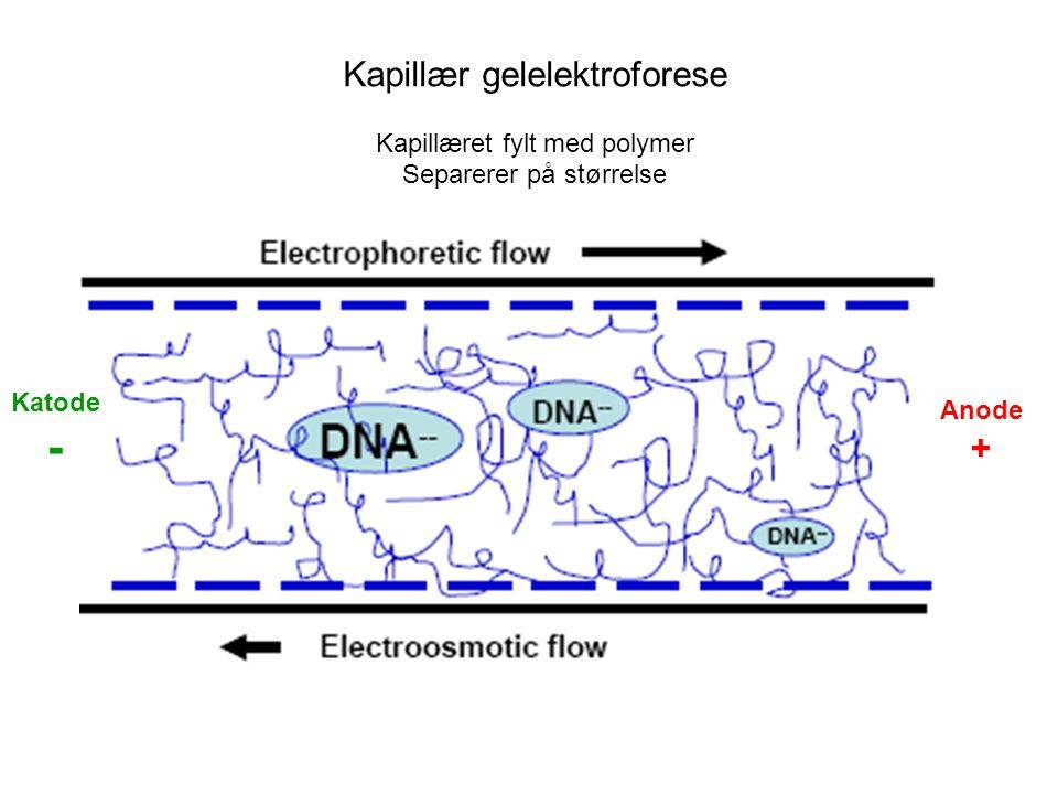 Kapillær gelelektroforese Kapillæret fylt med polymer Separerer på størrelse Anode + Katode -