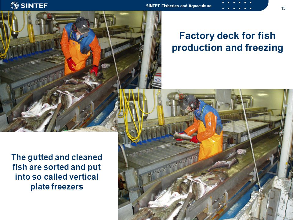 SINTEF Fisheries and Aquaculture 15 The gutted and cleaned fish are sorted and put into so called vertical plate freezers Factory deck for fish produc