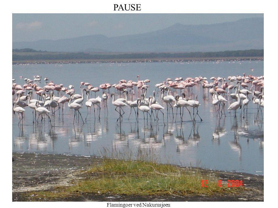 B. Ask 16 Pause PAUSE Flamingoer ved Nakurusjøen