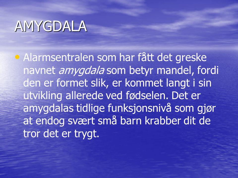 AMYGDALA • • Alarmsentralen som har fått det greske navnet amygdala som betyr mandel, fordi den er formet slik, er kommet langt i sin utvikling allerede ved fødselen.