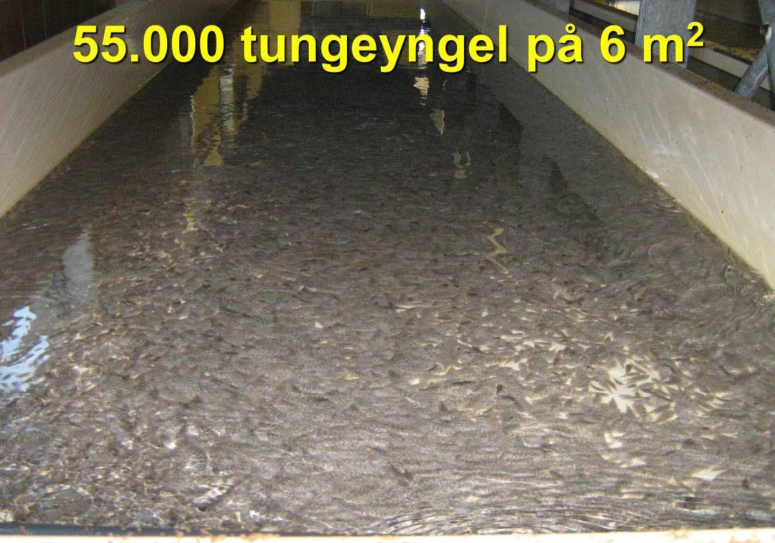 55.000 tungeyngel på 6 m 2