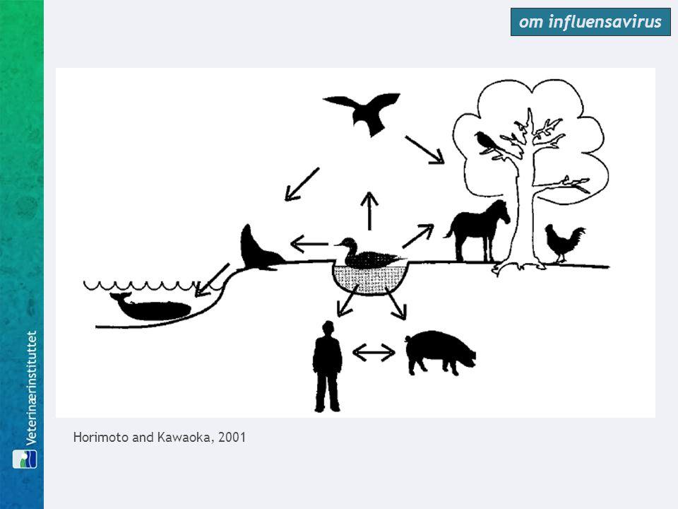 Lavpatogen fugleinfluensa er ganske vanlig  store undersøkelser i Nord-Amerika ●vanlig hos unge ender i juli – september (20% av alle ender), men uvanlig om våren (0,25%) ●opptil 60% av populasjonen på samlingsplasser i Canada er infisert like før trekket ●vanlig hos vadefugler om våren (30%) og om høsten (8%)  liknende tall funnet i andre verdensdeler, men muligens flere ender infisert om våren...