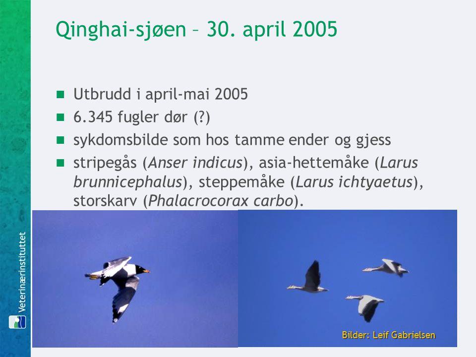 Qinghai-sjøen – 30. april 2005  Utbrudd i april-mai 2005  6.345 fugler dør (?)  sykdomsbilde som hos tamme ender og gjess  stripegås (Anser indicu