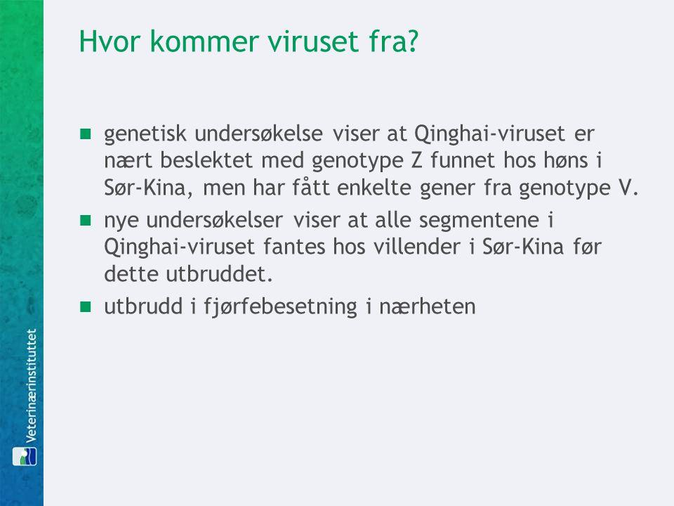 Hvor kommer viruset fra?  genetisk undersøkelse viser at Qinghai-viruset er nært beslektet med genotype Z funnet hos høns i Sør-Kina, men har fått en