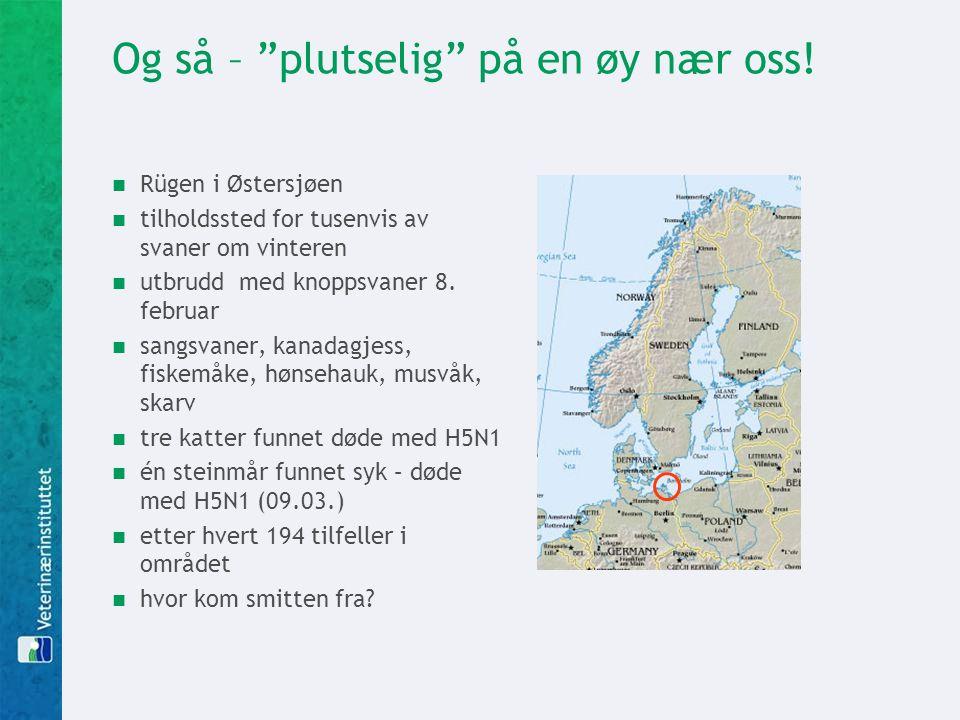 """Og så – """"plutselig"""" på en øy nær oss!  Rügen i Østersjøen  tilholdssted for tusenvis av svaner om vinteren  utbrudd med knoppsvaner 8. februar  sa"""