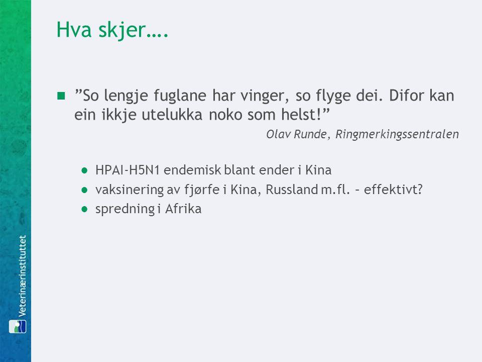 """Hva skjer….  """"So lengje fuglane har vinger, so flyge dei. Difor kan ein ikkje utelukka noko som helst!"""" Olav Runde, Ringmerkingssentralen ●HPAI-H5N1"""