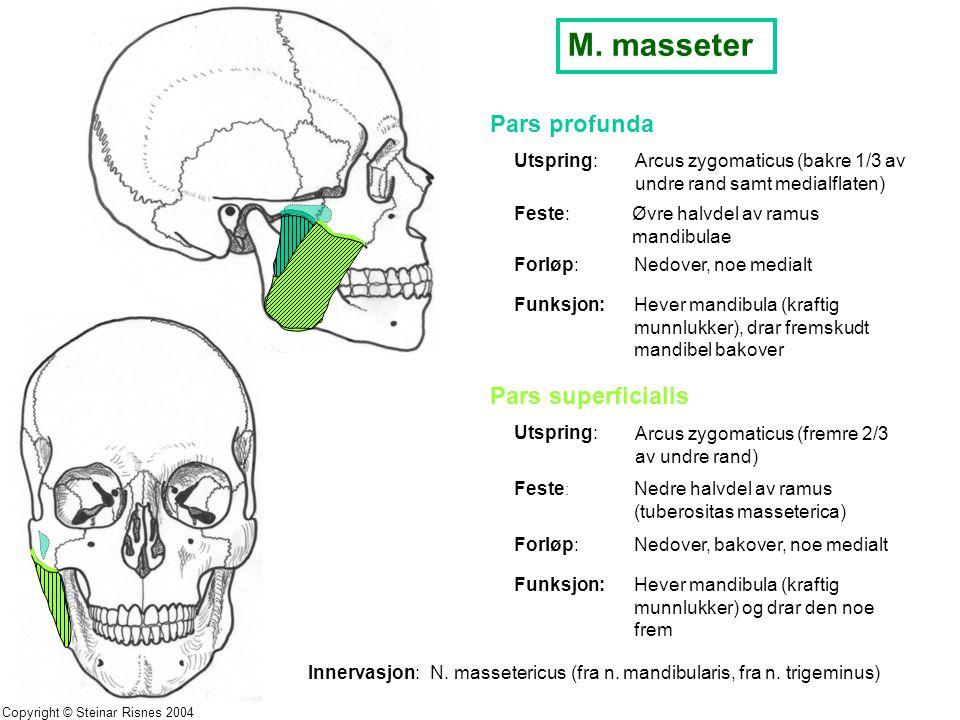 M. masseter Pars profunda Utspring:Arcus zygomaticus (bakre 1/3 av undre rand samt medialflaten) Feste: Øvre halvdel av ramus mandibulae Forløp:Nedove