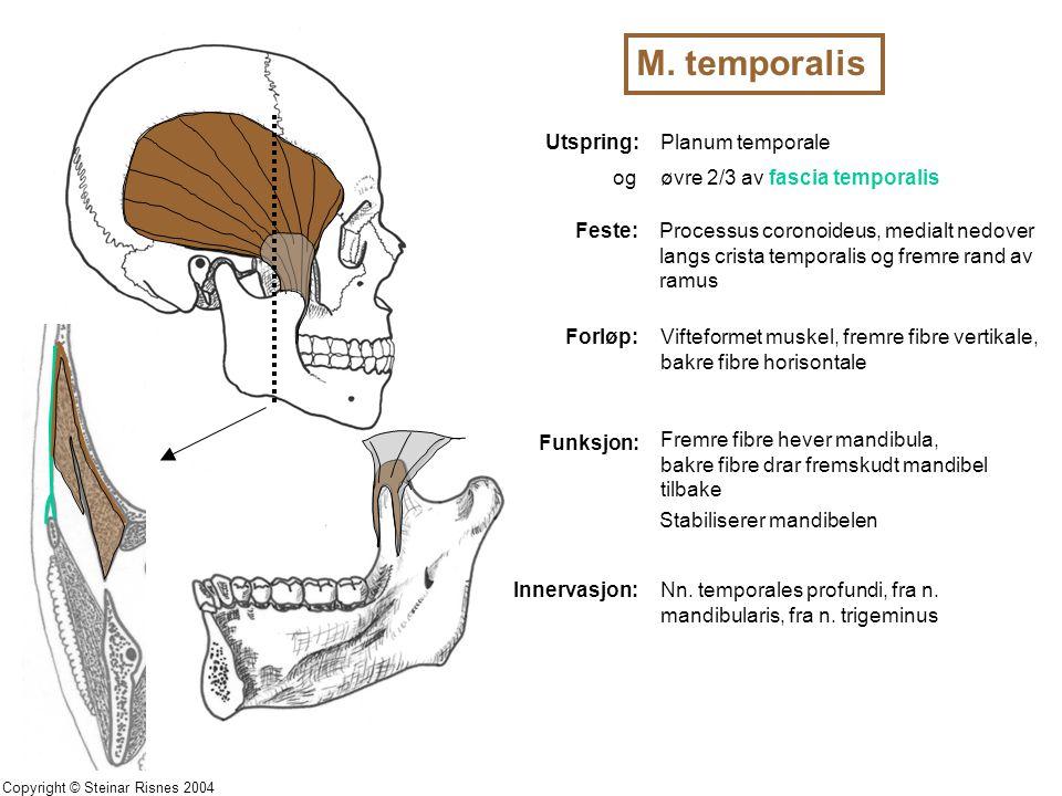 M. temporalis Utspring:Planum temporale Feste:Processus coronoideus, medialt nedover langs crista temporalis og fremre rand av ramus Forløp:Vifteforme