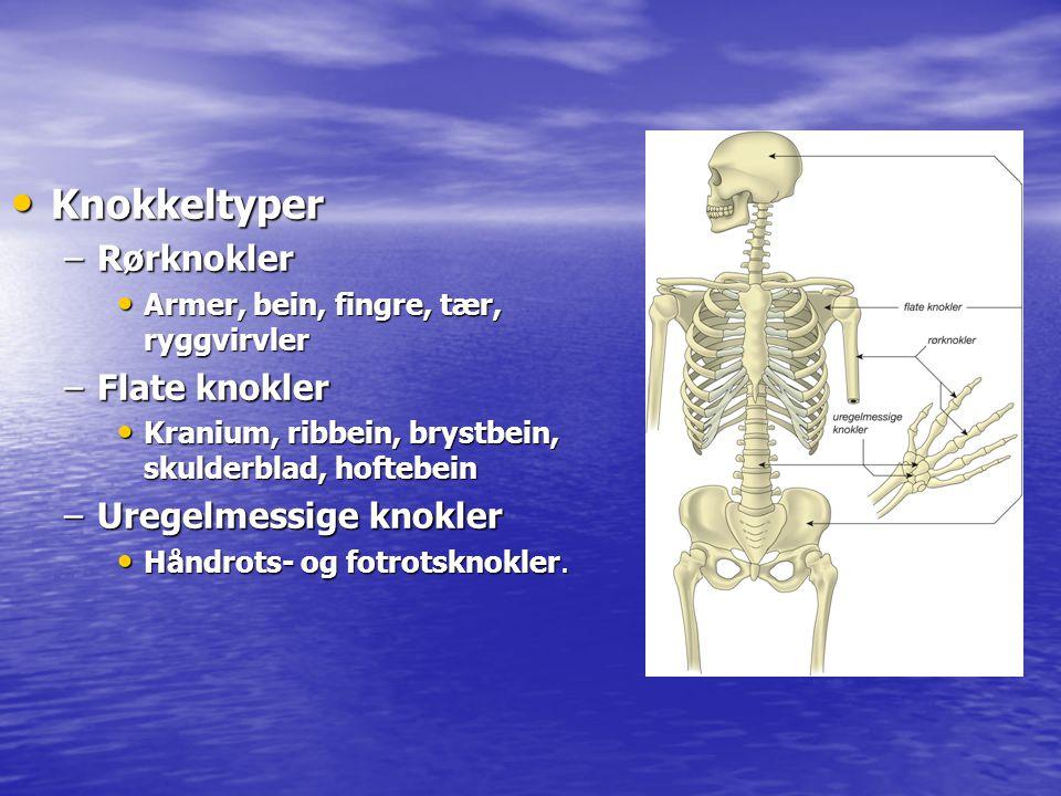 • Knokkeltyper –Rørknokler • Armer, bein, fingre, tær, ryggvirvler –Flate knokler • Kranium, ribbein, brystbein, skulderblad, hoftebein –Uregelmessige
