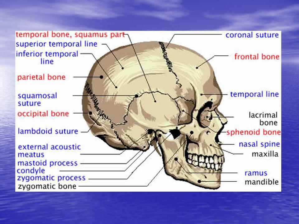 Kvinnelig kjønnsorgan anatomi uten tr