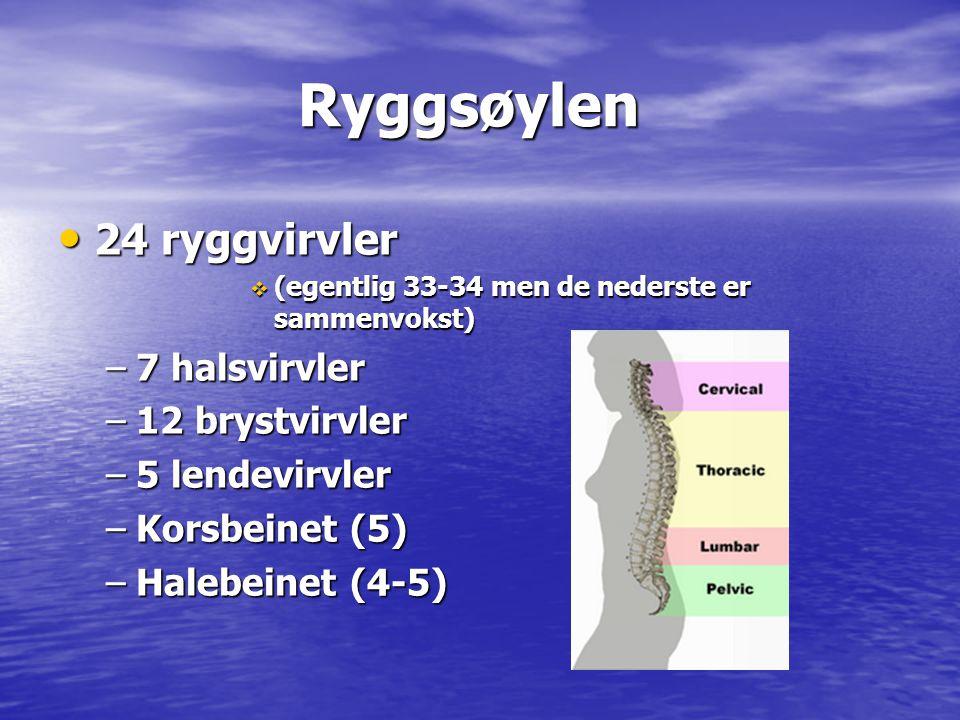 Ryggsøylen Ryggsøylen • 24 ryggvirvler  (egentlig 33-34 men de nederste er sammenvokst) –7 halsvirvler –12 brystvirvler –5 lendevirvler –Korsbeinet (