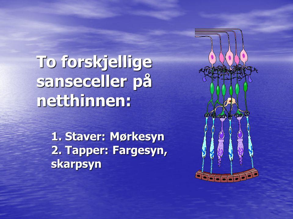 To forskjellige sanseceller på netthinnen: 1. Staver: Mørkesyn 2. Tapper: Fargesyn, skarpsyn