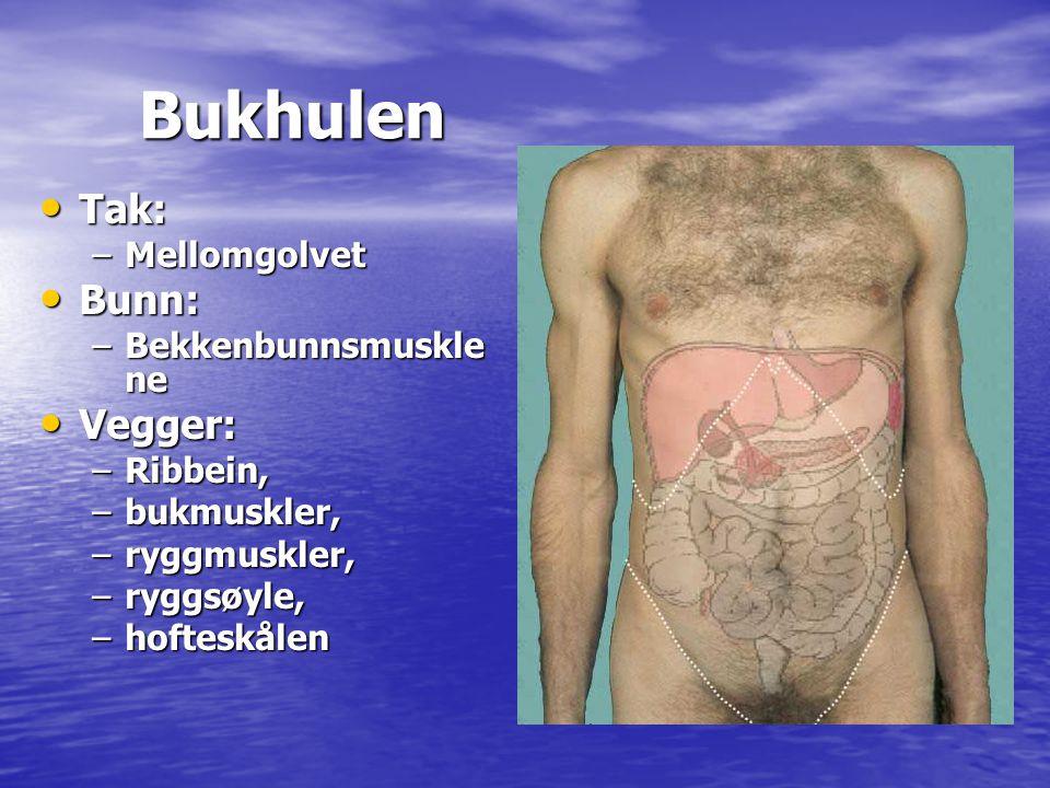 Bukhulen Bukhulen • Tak: –Mellomgolvet • Bunn: –Bekkenbunnsmuskle ne • Vegger: –Ribbein, –bukmuskler, –ryggmuskler, –ryggsøyle, –hofteskålen