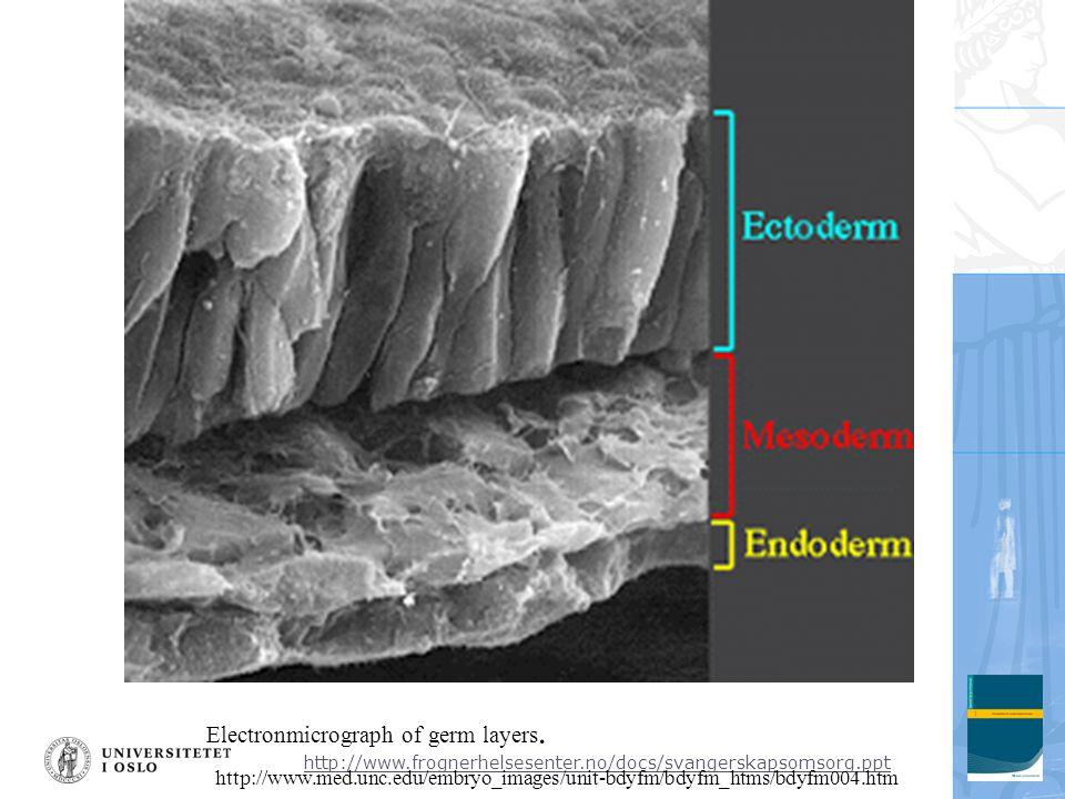 http://www.frognerhelsesenter.no/docs/svangerskapsomsorg.ppt Electronmicrograph of germ layers. http://www.med.unc.edu/embryo_images/unit-bdyfm/bdyfm_