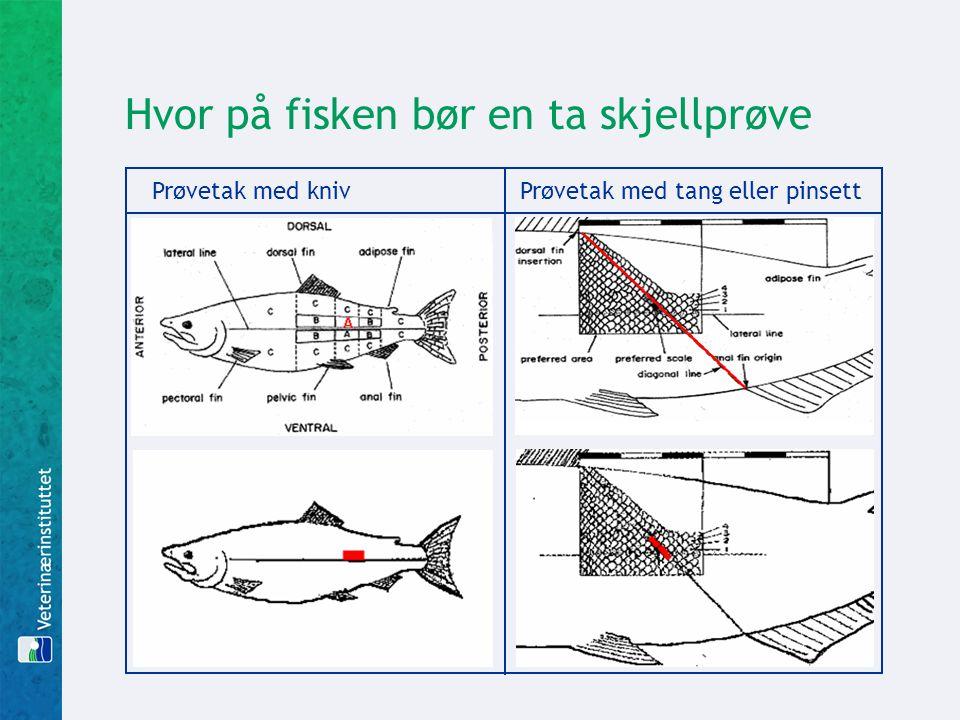 Hvor på fisken bør en ta skjellprøve Prøvetak med kniv Prøvetak med tang eller pinsett