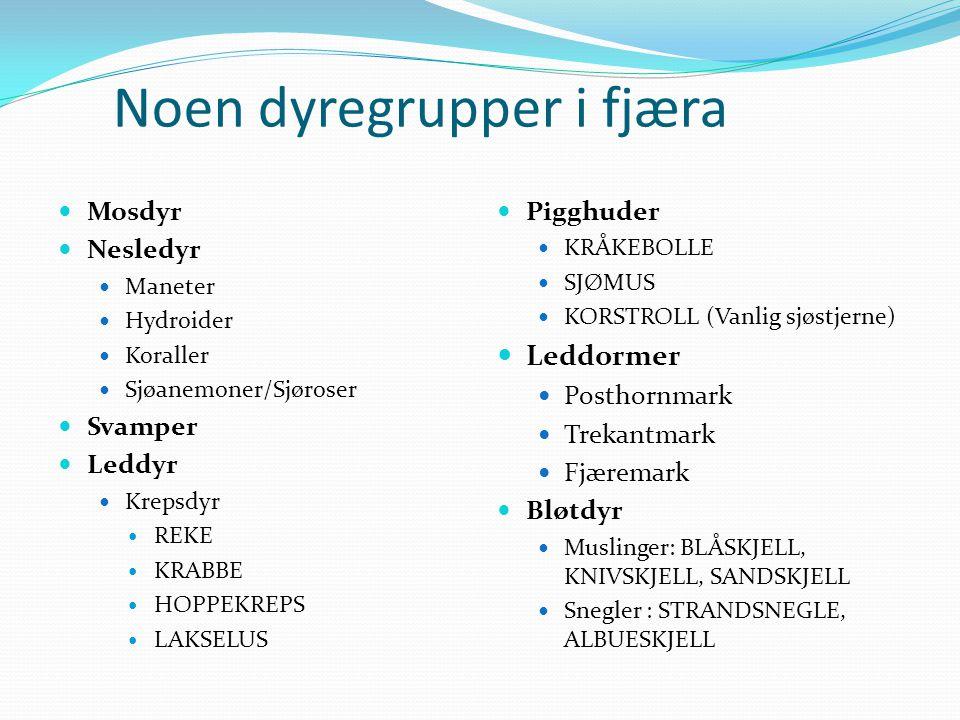 Noen dyregrupper i fjæra  Mosdyr  Nesledyr  Maneter  Hydroider  Koraller  Sjøanemoner/Sjøroser  Svamper  Leddyr  Krepsdyr  REKE  KRABBE  H
