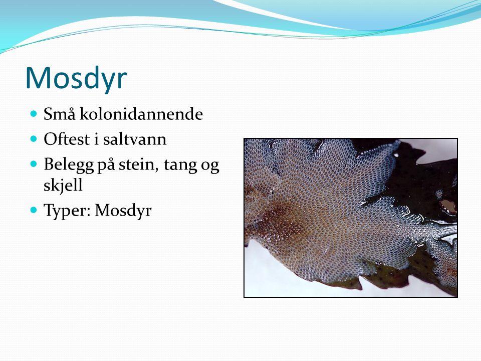 Mosdyr  Små kolonidannende  Oftest i saltvann  Belegg på stein, tang og skjell  Typer: Mosdyr