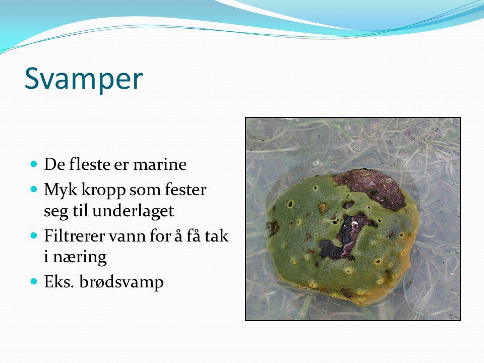 Svamper  De fleste er marine  Myk kropp som fester seg til underlaget  Filtrerer vann for å få tak i næring  Eks. brødsvamp