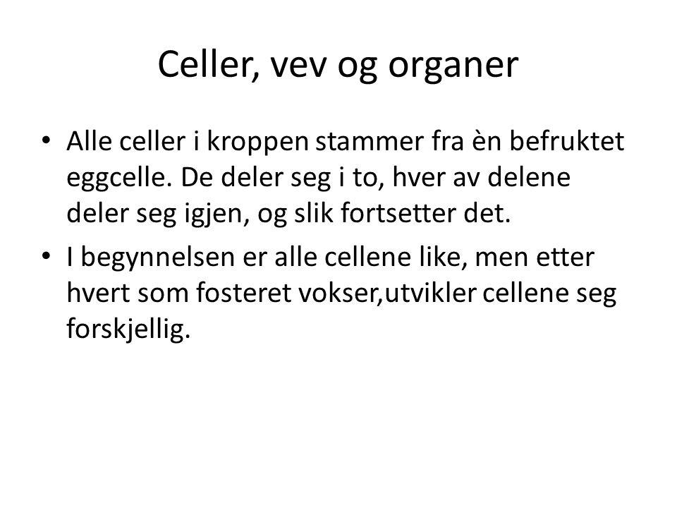 Celler, vev og organer • Alle celler i kroppen stammer fra èn befruktet eggcelle. De deler seg i to, hver av delene deler seg igjen, og slik fortsette