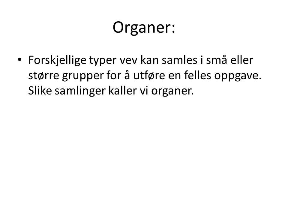 Organer: • Forskjellige typer vev kan samles i små eller større grupper for å utføre en felles oppgave. Slike samlinger kaller vi organer.