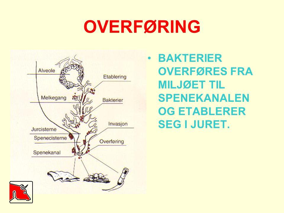 OVERFØRING •BAKTERIER OVERFØRES FRA MILJØET TIL SPENEKANALEN OG ETABLERER SEG I JURET.