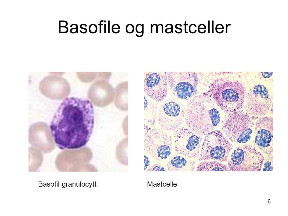 6 Basofile og mastceller Basofil granulocyttMastcelle