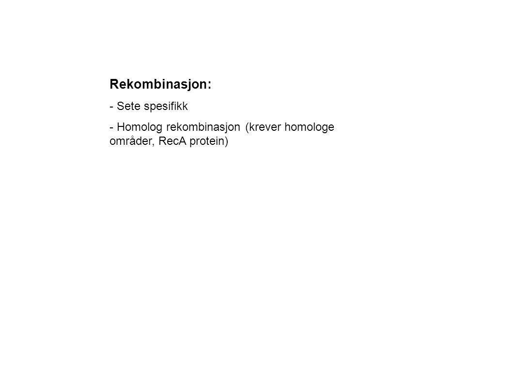 Rekombinasjon: - Sete spesifikk - Homolog rekombinasjon (krever homologe områder, RecA protein)