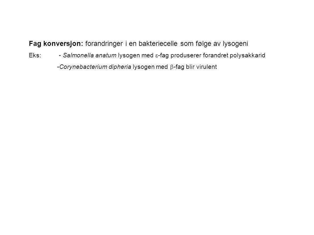 Fag konversjon: forandringer i en bakteriecelle som følge av lysogeni Eks: - Salmonella anatum lysogen med  -fag produserer forandret polysakkarid -C