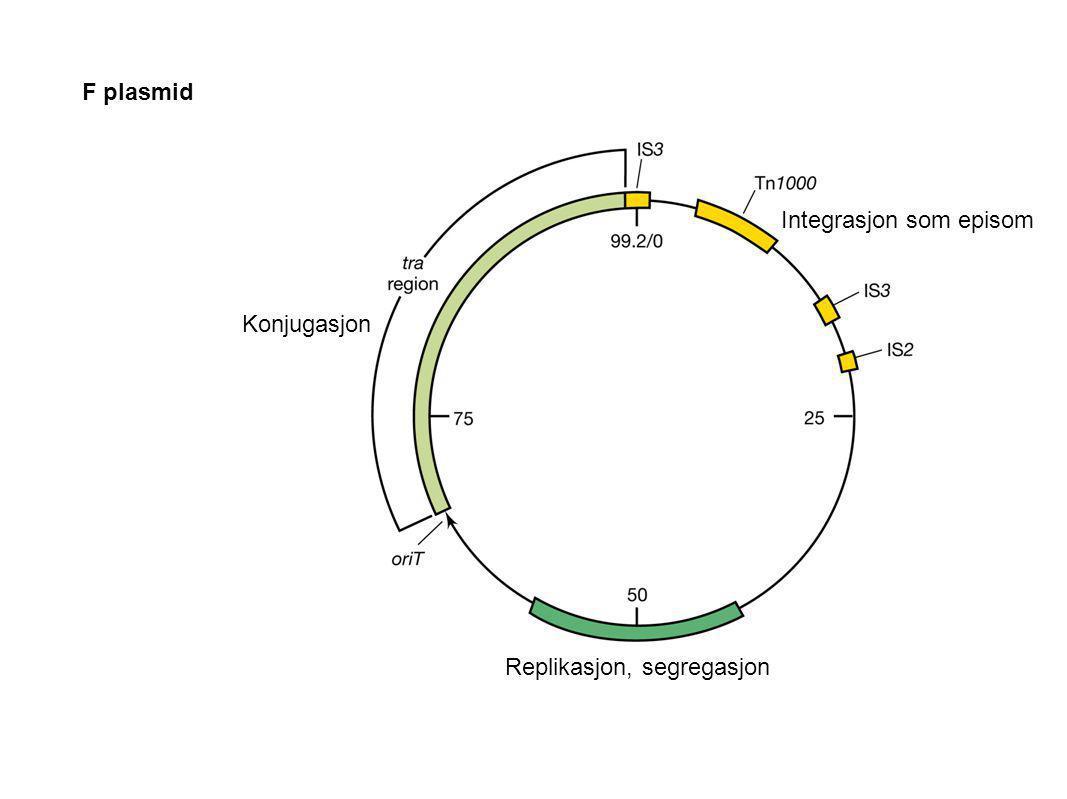 F plasmid Replikasjon, segregasjon Konjugasjon Integrasjon som episom