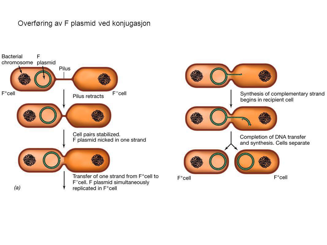 Overføring av F plasmid ved konjugasjon