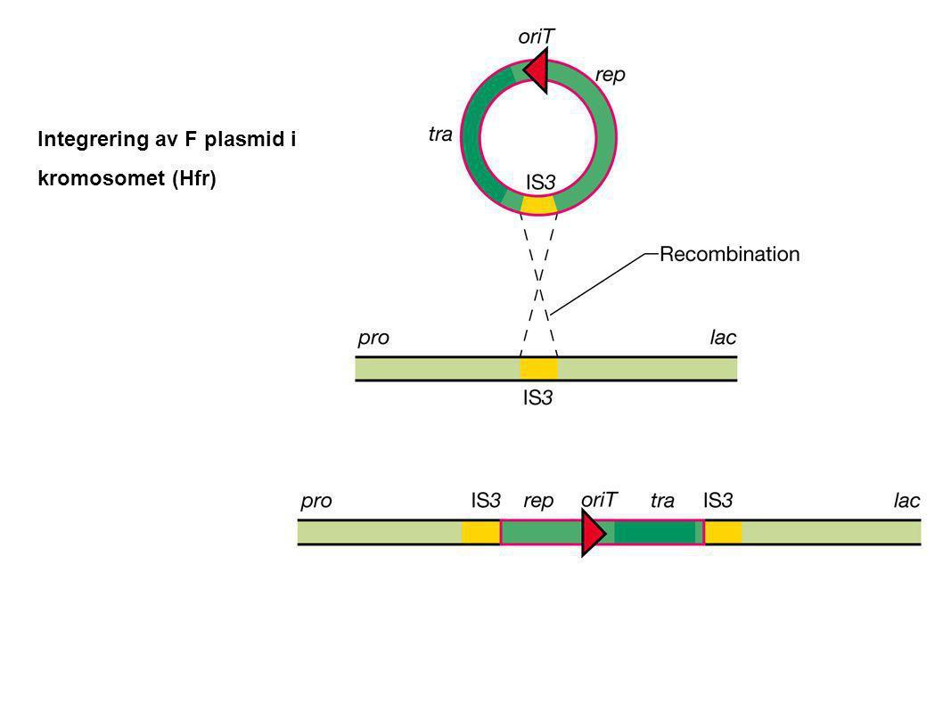 Integrering av F plasmid i kromosomet (Hfr)
