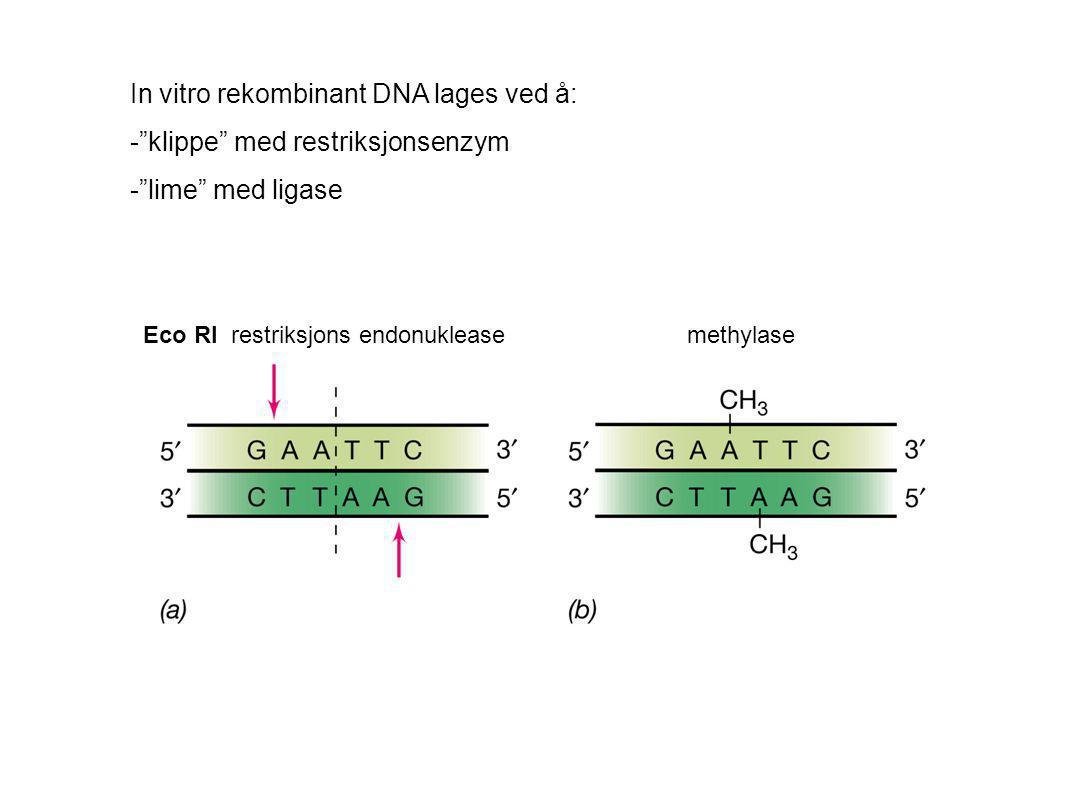 """In vitro rekombinant DNA lages ved å: -""""klippe"""" med restriksjonsenzym -""""lime"""" med ligase Eco RI restriksjons endonuklease methylase"""