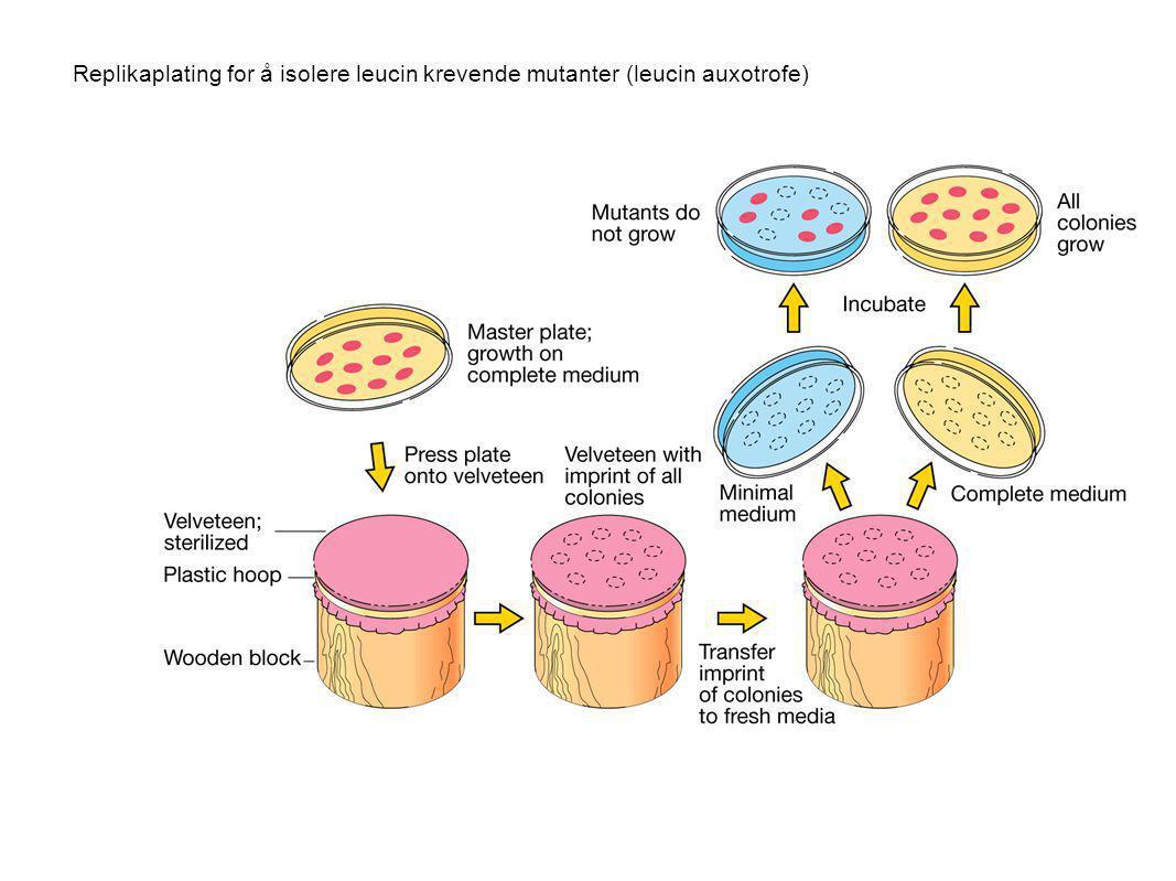 Replikaplating for å isolere leucin krevende mutanter (leucin auxotrofe)