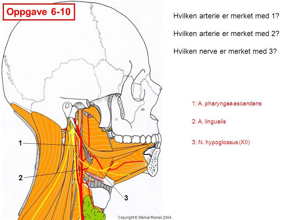 Oppgave 6-10 1 2 3 Hvilken arterie er merket med 1? Hvilken arterie er merket med 2? Hvilken nerve er merket med 3? Copyright © Steinar Risnes 2004 1:
