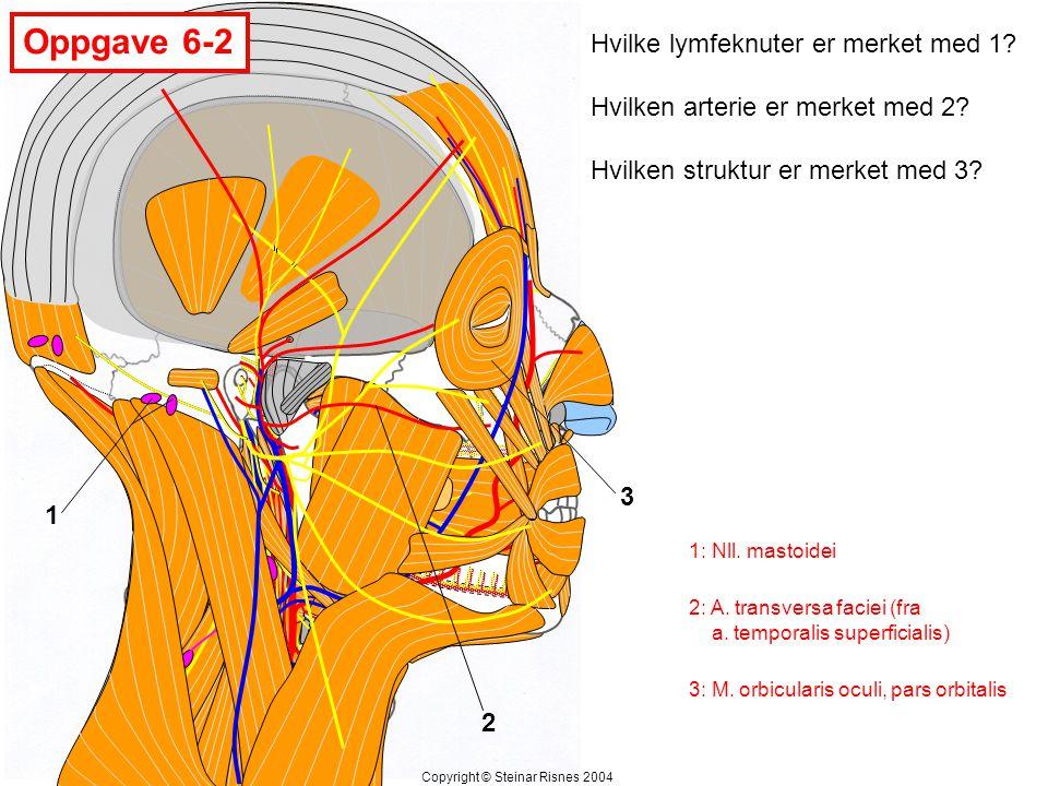 Oppgave 6-2 1 2 3 Hvilke lymfeknuter er merket med 1? Hvilken arterie er merket med 2? Hvilken struktur er merket med 3? Copyright © Steinar Risnes 20
