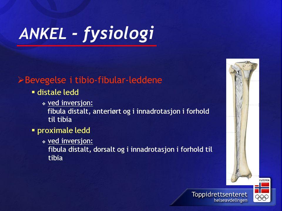 ANKEL - fysiologi  Bevegelse i tibio-fibular-leddene  distale ledd  ved inversjon: fibula distalt, anteriørt og i innadrotasjon i forhold til tibia