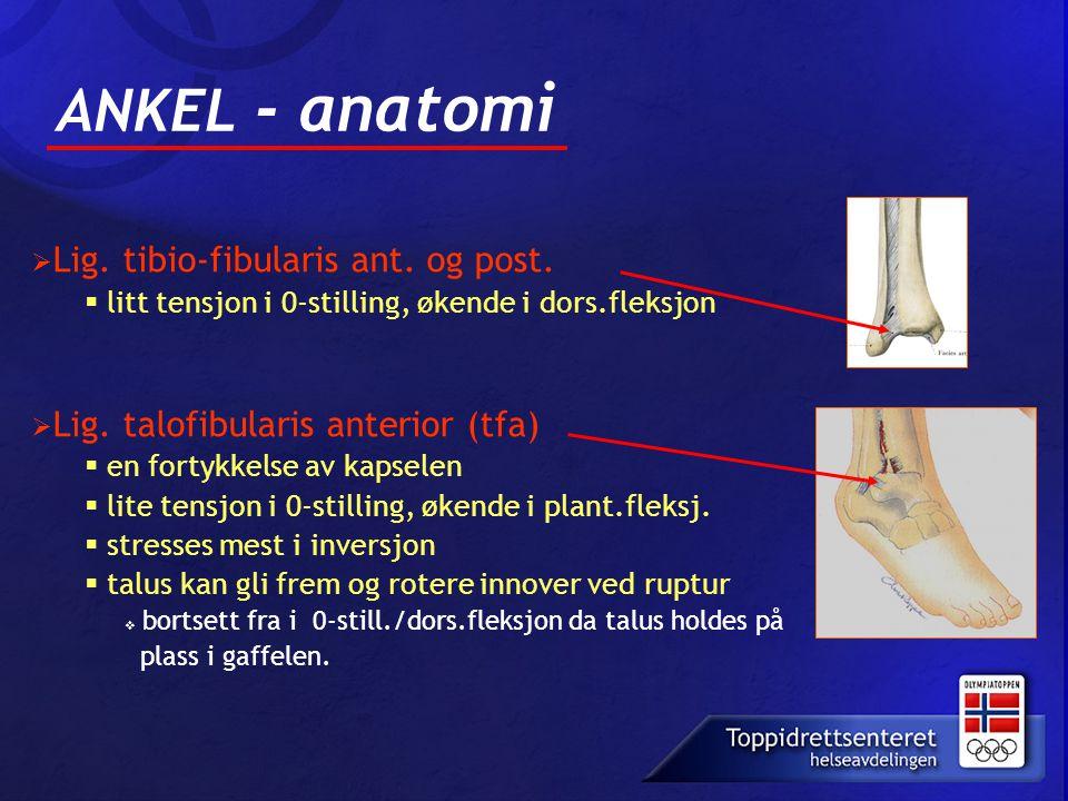 ANKEL - anatomi  Lig. tibio-fibularis ant. og post.  litt tensjon i 0-stilling, økende i dors.fleksjon  Lig. talofibularis anterior (tfa)  en fort