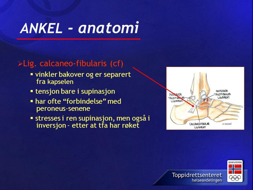 """ANKEL - anatomi  Lig. calcaneo-fibularis (cf)  vinkler bakover og er separert fra kapselen  tensjon bare i supinasjon  har ofte """"forbindelse"""" med"""
