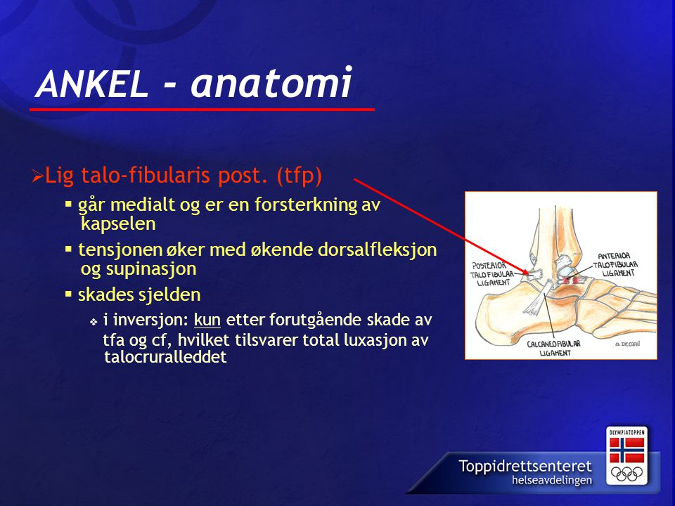 ANKEL - anatomi  Lig talo-fibularis post.
