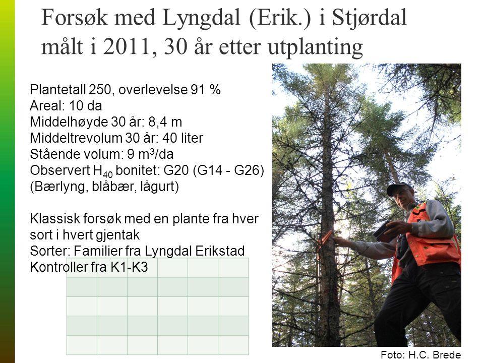 Forsøk med Lyngdal (Erik.) i Stjørdal målt i 2011, 30 år etter utplanting Foto: H.C.