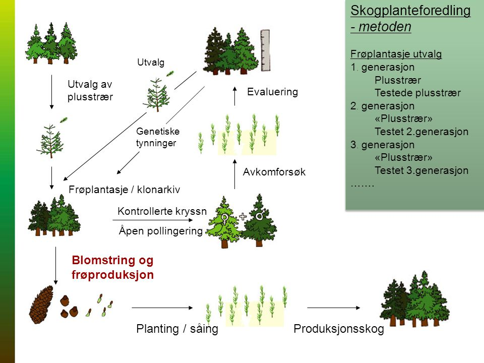 Skogplanteforedling - metoden Frøplantasje utvalg 1.
