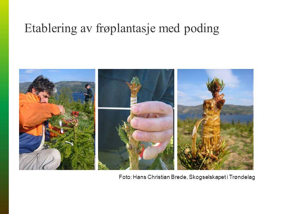 Etablering av frøplantasje med poding Foto: Hans Christian Brede, Skogselskapet i Trøndelag