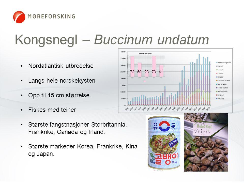 Kongsnegl – Buccinum undatum h-mart.co.kr •Nordatlantisk utbredelse •Langs hele norskekysten •Opp til 15 cm størrelse. •Fiskes med teiner •Største fan